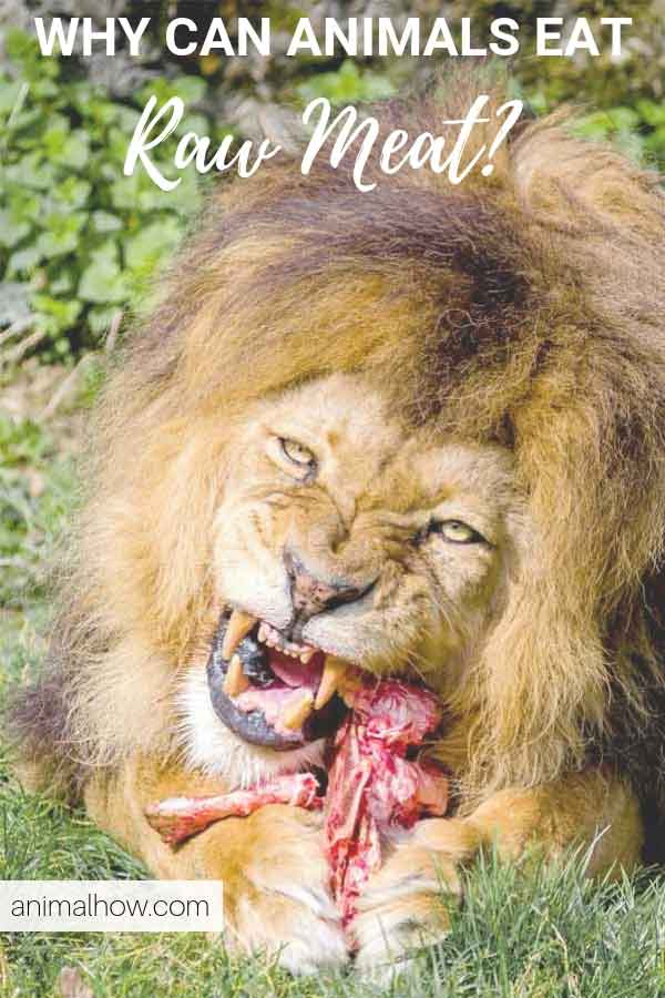 Why can lions eat raw meat without getting infections
