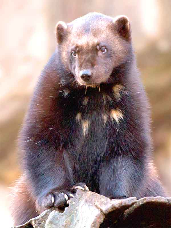 Wolverine animal standing up in Arctic tundra