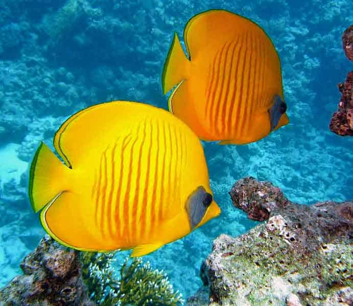 Yellow fish swimming by a coral reef