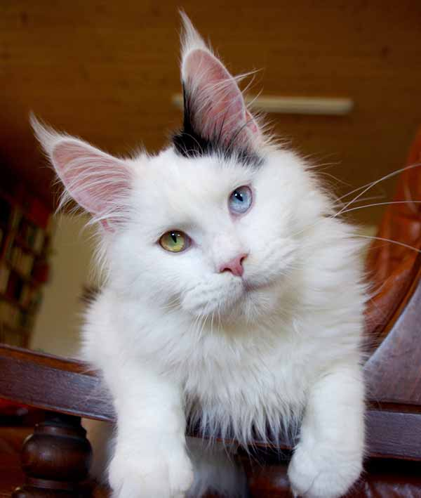 cat with yellow and blue eyes