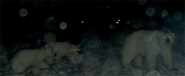 Bears with glowing yellow eyes in front of car at night