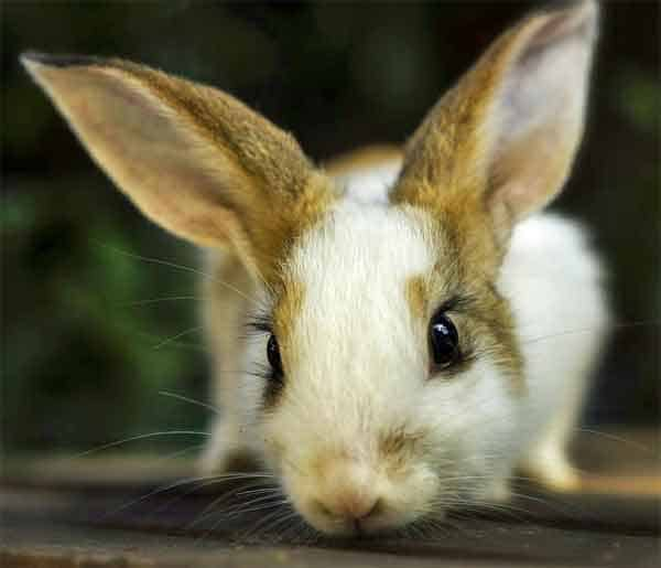 Rabbit with dark black eyes