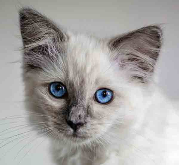 Domestic cat with deep blue eyes
