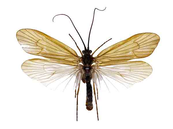 Caddisflies (Extinct)