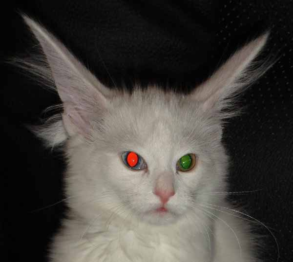 Cat photographed in dark with two eye colors