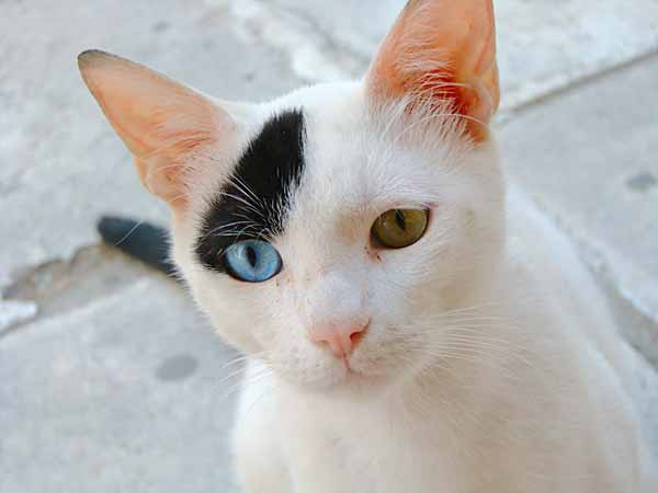 White cat with 2 eye colors