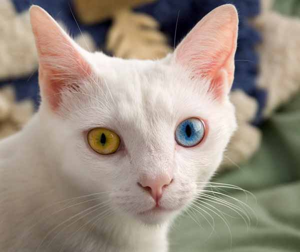 Domestic cat with two different eye colors