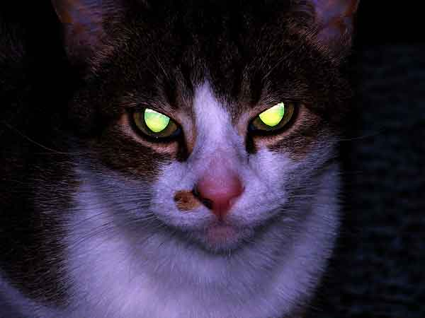 Cat with yellow eyes towards flashlight