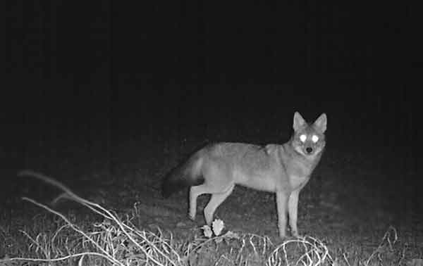 Coyote with shining white eyes at night