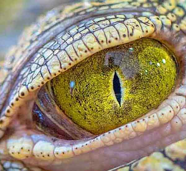 Crocodile with yellow eyes