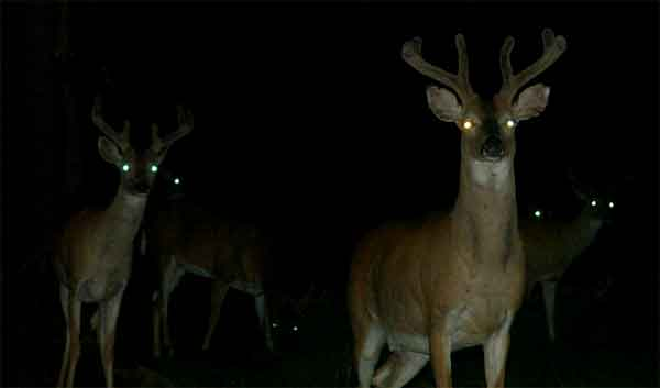 Deers with yellow shining eyes at night