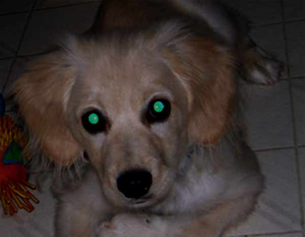 Dog with green eyes at night