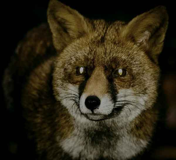 Fox with green eyes glowing at night