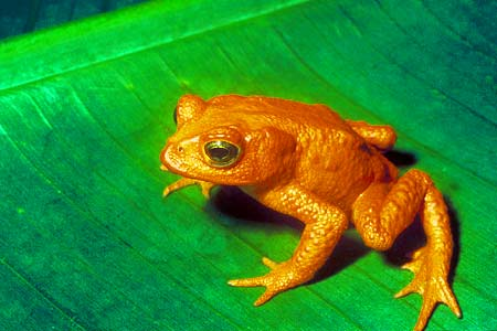 Golden Toad on leaf
