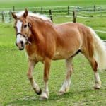 Halflinger horse (smaller breed)
