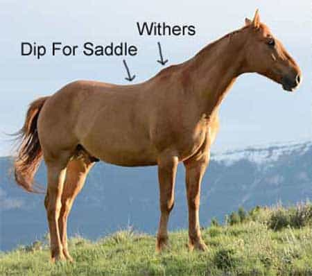 Horse withers explained regarding height