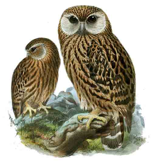 Laughing Owls from the rainforests