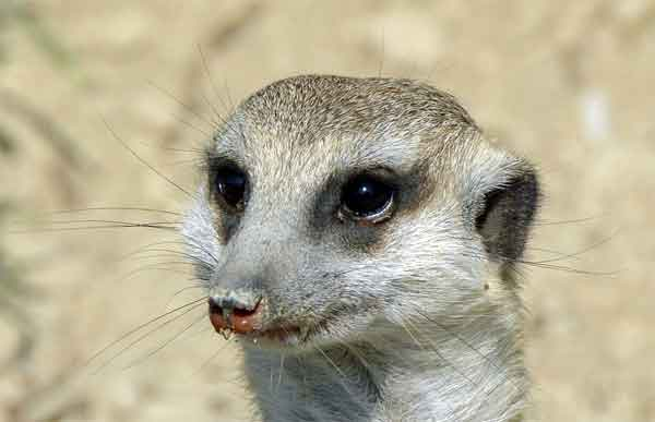 Meercat with deep black eyes