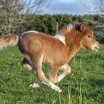 Miniature Horse Riding Fast