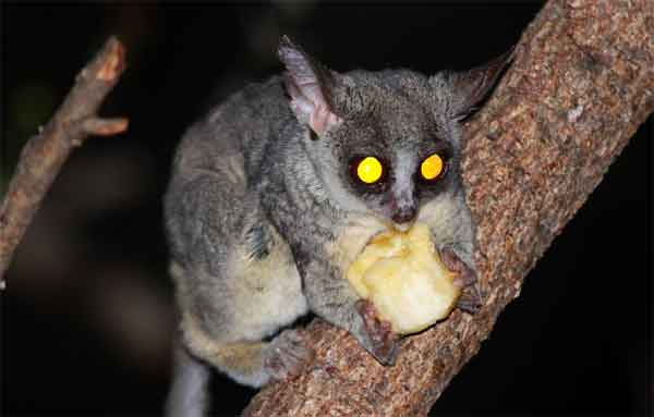 Little monkey eating apple with yellow eyes