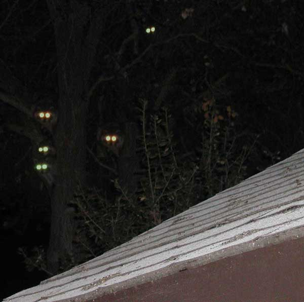 Opossums in tree with green eyes