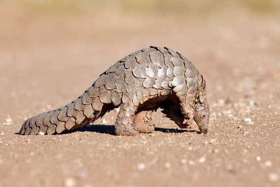Pangolins are endangered