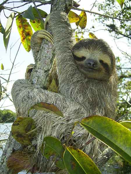 Pygmy Three-toed Sloth