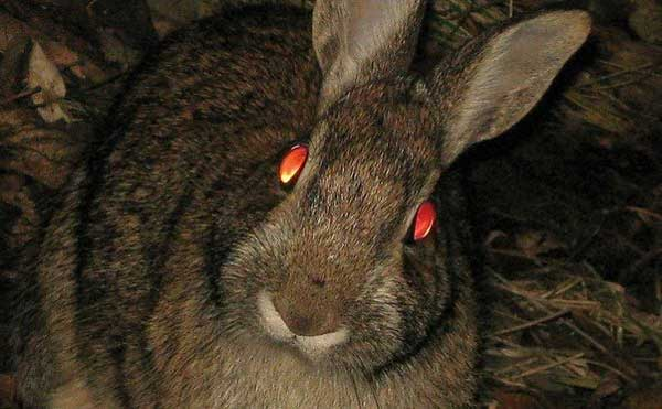 Rabbit eyes reflecting red light at night