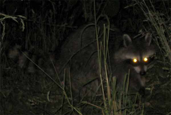Racoon with yellow shining eyes at night reflecting the light