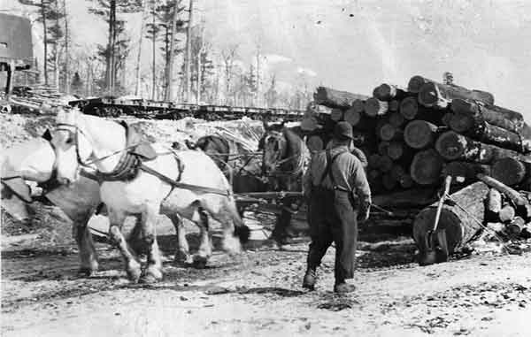 Shire breed horses pulling a heavy load of logs