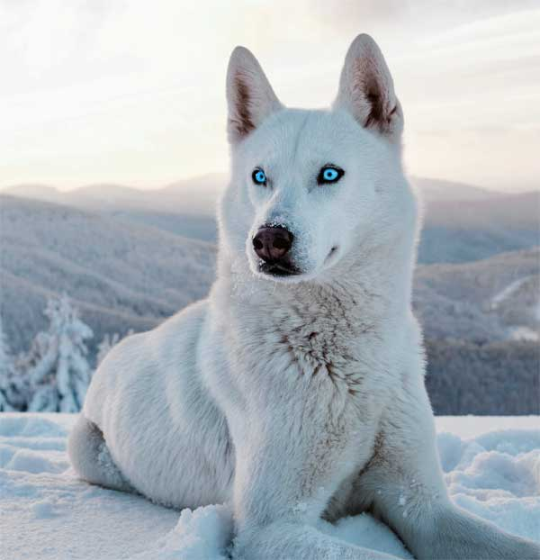 Snow wolf with blue eyes