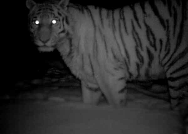 Tiger with glowing white eyes in the dark