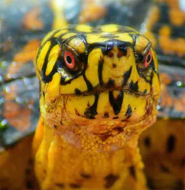 Turtle with sparkling red eyes and yellow skin
