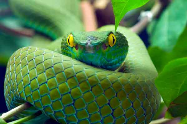 Yellow eyed snake with green scales