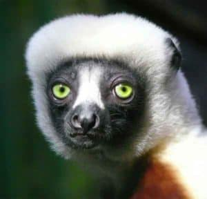 Lemur with green eyes