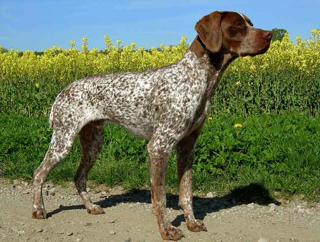 How Much Do Pointers Shed? 8 Breeds Compared (With Pictures