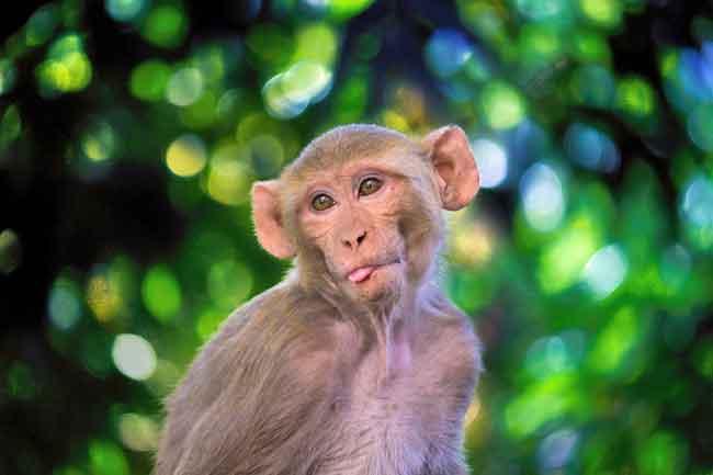 Tiny Gibbon monkey