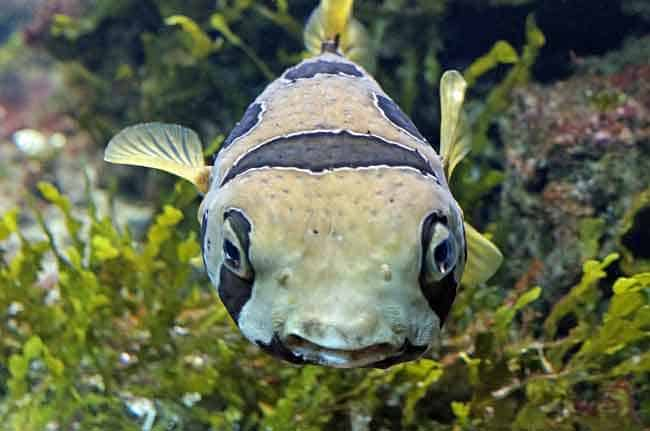 Bloat from Finding Nemo is a Pufferfish