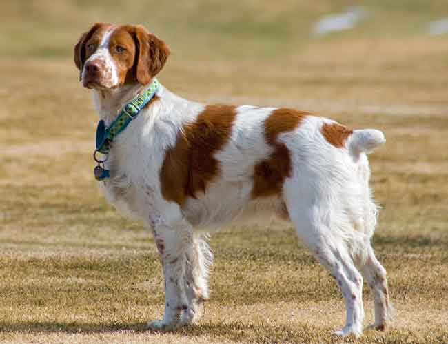 Shedding in Brittany dogs