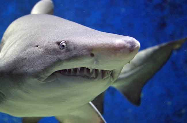 Bruce from Finding Nemo is a great white shark