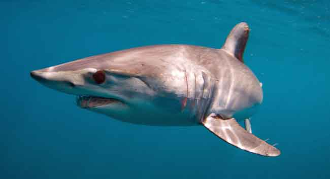 Chum from Finding Nemo is a Mako Shark