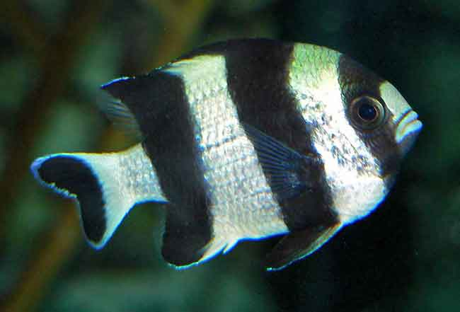 Deb from Finding Nemo is a Damselfish
