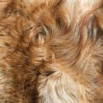 Dog with rough-haired fur