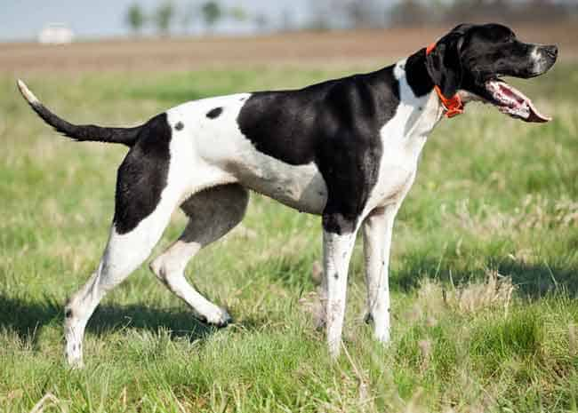 English pointer shedding info