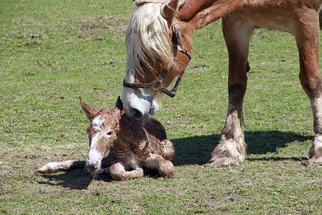 A Foal is being born