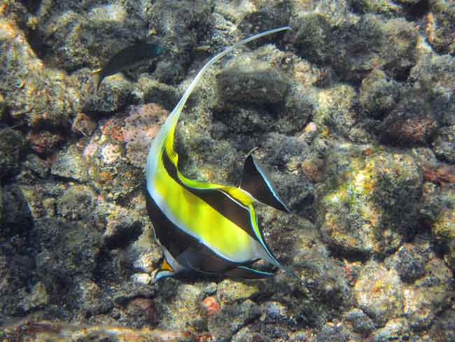 Gill from Finding Nemo is a Moorish Idol fish