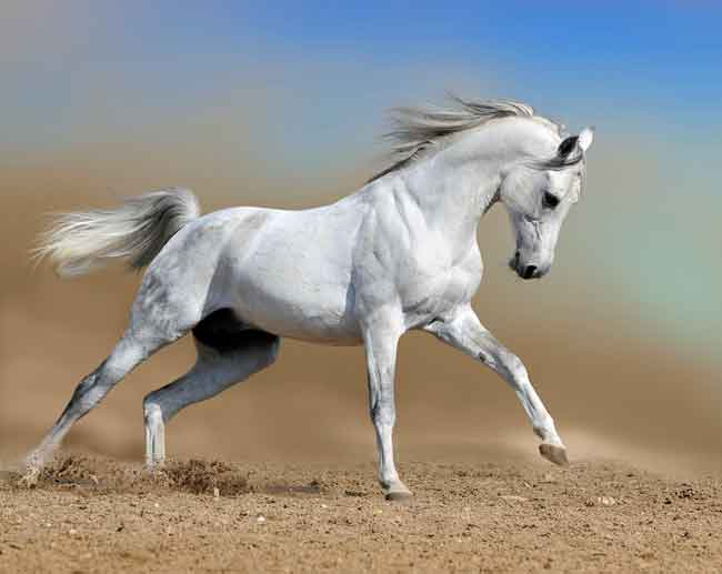 Grey horse that has turned white