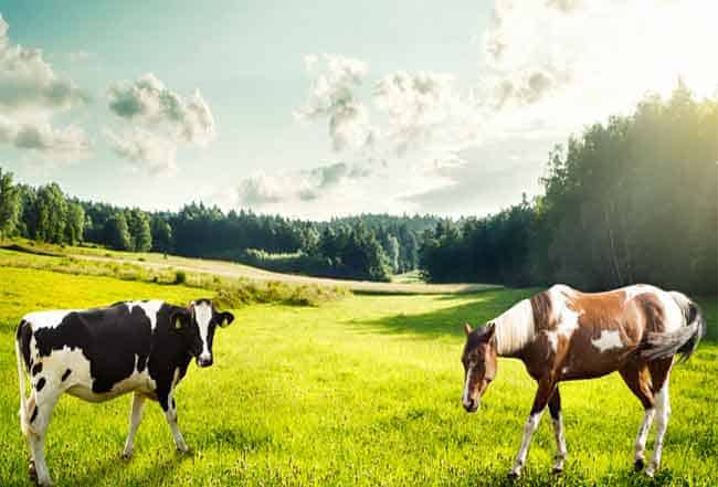 Horse and Cow in field together getting along