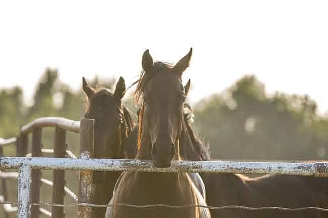 Horse leaning toward a fence
