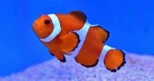 Nemo & Marlin from Finding Nemo are clownfish